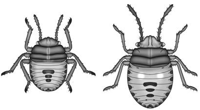 bagrada-bug-nymphs