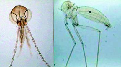 Lutzomyia-nautaensis
