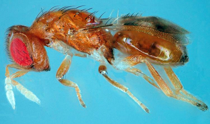 A New Wasp Parasitoid of the Fall Webworm