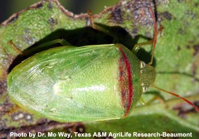 redbanded-stink-bug
