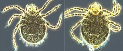 Gahrliepia-chigger-mites