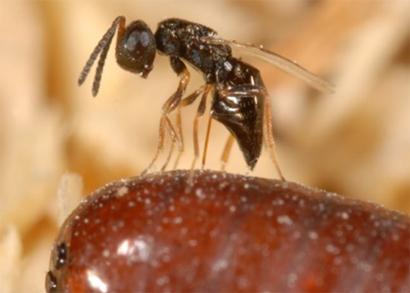 Muscidifurax-raptorellus