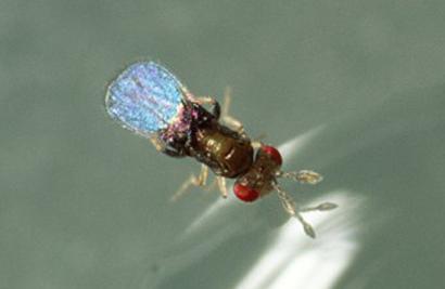 Trichogramma-wasp