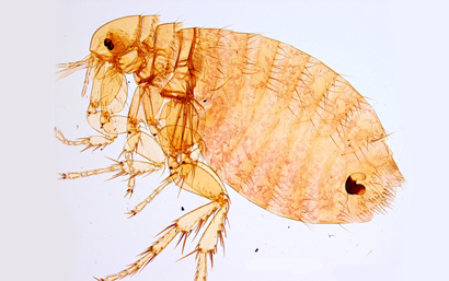 Xenopsylla-cheopis