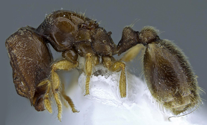 Two New Species of Door Head Ants Found in Kenya and th…