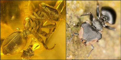 Cephalotes-ants