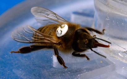 honey-bee-caffeine