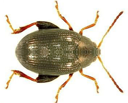 Chaetocnema-breviuscula