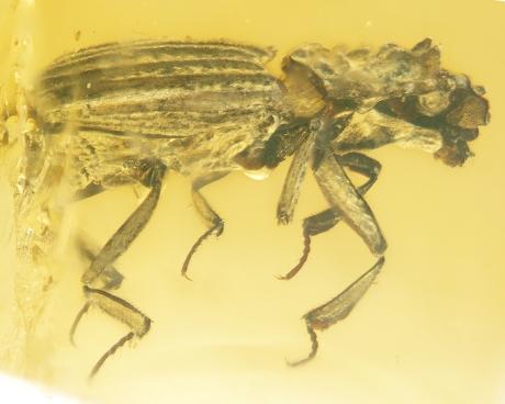 caterino-beetle