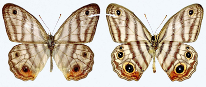 New Butterfly Species Named after Sir David Attenboroug…