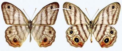 Euptychia-attenboroughi