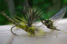 """An adult Drunella grandis, also known as a spinner green drake to fly fishermen, is mimicked in this artificial lure with an """"extended body fly pattern,"""" says Buchner who tied the fly. Photo by Jay Buchner."""