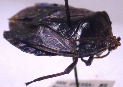 New giant Stink Bug Named after J. R. R. Tolkien's Anca…