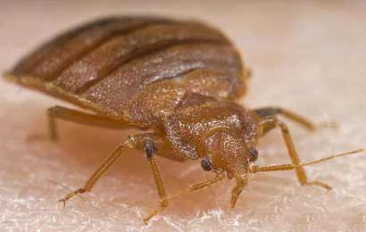 bed-bug-5380002-PPT