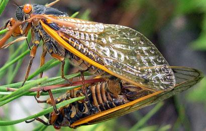 cicada-chris-simon
