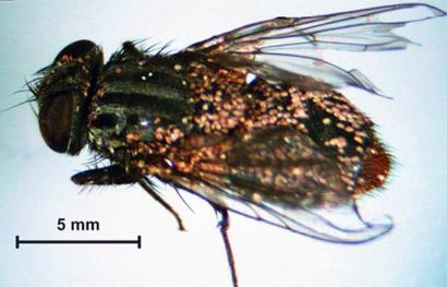 Myianoetus-muscarum-on-Synthesiomyia-nudiseta-wp