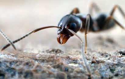 Argentine-ant
