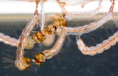 aedes-aegypti-larvae