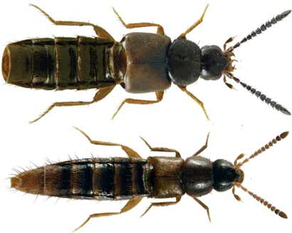 Atheta-alphacrenuliventris-Acrotona-brachyoptera