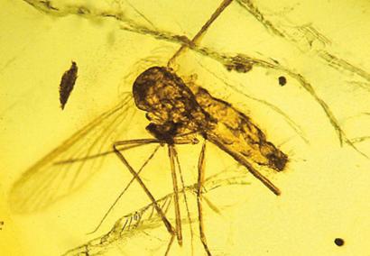 Culex-malariager