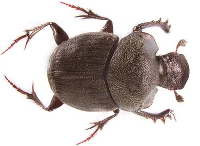 Onthophagus-clavijeroi