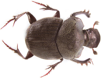 Two New Species of Dung Beetles Discovered in Mexico