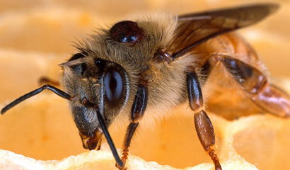 Varroa Mites and Associated Honey Bee Diseases More Severe than ...
