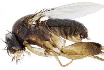 Megaselia-wongae