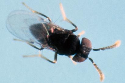 Ageniaspis-citricola