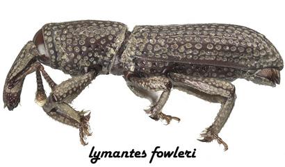 lymantes_fowleri