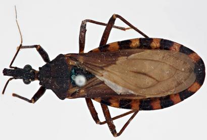 Triatoma-infestans