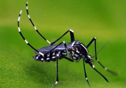 Aedes-albopictus-Ary-Faraji