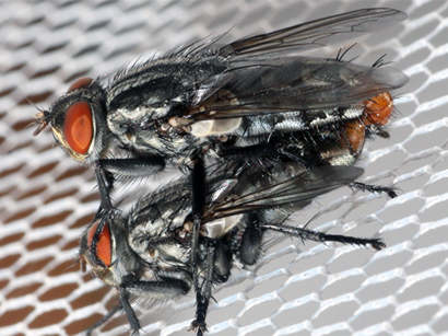 Flies in the genus Emblemasoma.