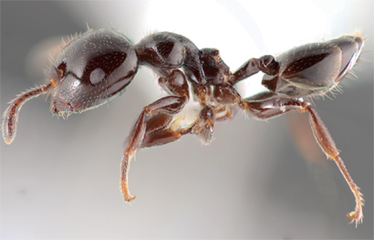 Image result for New ant species discovered