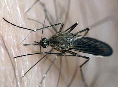 mosquito-biting