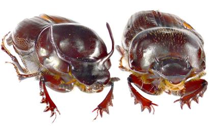 Onthophagus
