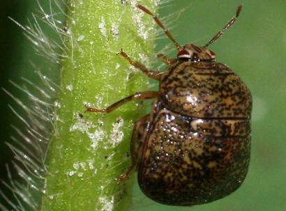 kudzu-bug-ottens