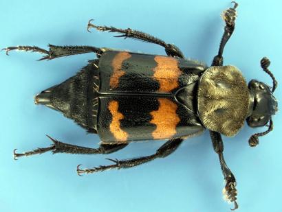 Nicrophorus-tomentosus