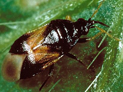 Orius-insidiosus