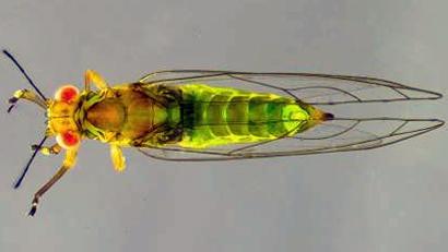 Trioza-brevigenae