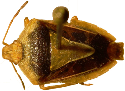 South American Stink Bug Named after J. R. R. Tolkien's Nazgûl