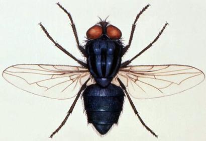 cochliomyia-hominivorax2