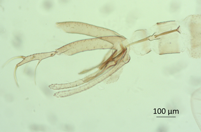 Another New Sand Fly Species Could be a Vector of Leishmaniasis