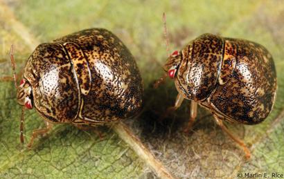kudzu-bugs