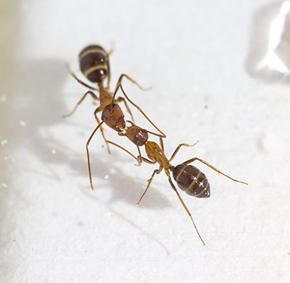 Ants may do more than exchange food via trophallaxis.