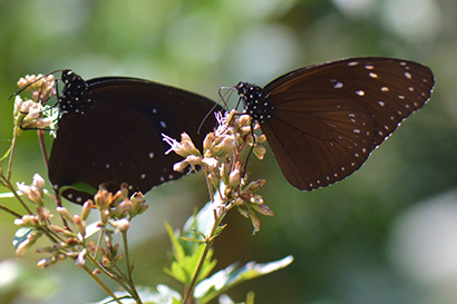 crow butterflies