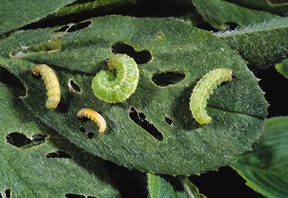 alfalfa weevil larvae