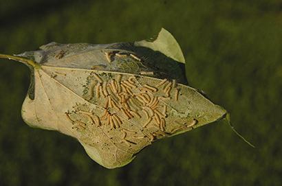fall webworm larvae