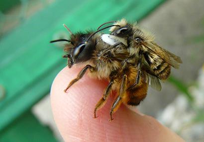 red mason bees
