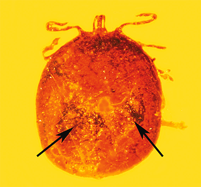 fossilized tick